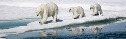 Polar Bears  Crystal AXX